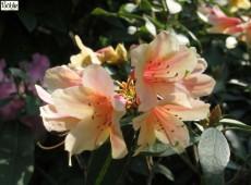Rhododendron cinnabarinum 1