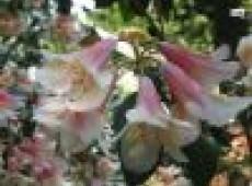 Rhododendron cinnabarinum 2