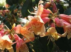Rhododendron cinnabarinum 3