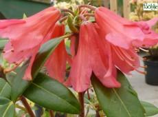 Rhododendron cinnabarinum 'Biskra'