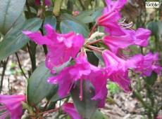 Rhododendron concinnum var. pseudoyanthinum