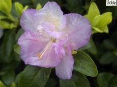 Rhododendron dauricum 'April Reign'