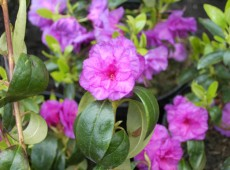 Rhododendron dauricum 'April Rose'