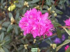 Rhododendron dauricum 'Boskoop Ostara'
