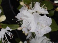 Rhododendron dauricum album
