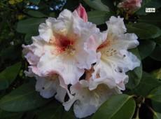 Rhododendron x erythrocalyx