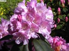 Rhododendron fargesii 'Winterpurpur'