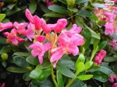 Rhododendron ferrugineum / ferrugineum 'Album'