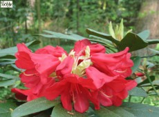 Rhododendron Hybride 'Fuego' (haematodes)