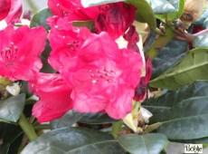 Rhododendron haematodes 'Lisetta'