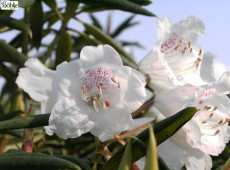 Rhododendron hyperythrum