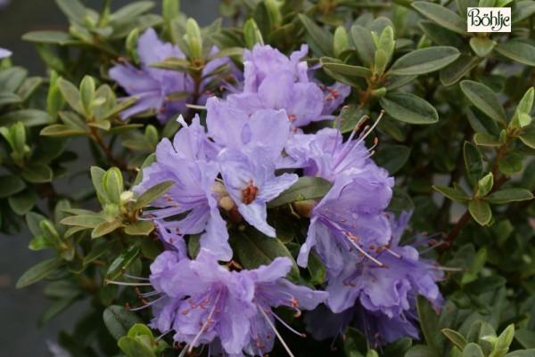 Rhododendron impeditum 'Blaue Mauritius'