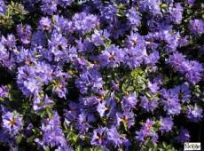 Rhododendron impeditum 'Blue Wonder'
