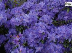 Rhododendron impeditum 'Luisella'