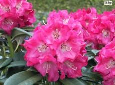Rhododendron insigne 'Berliner Liebe'