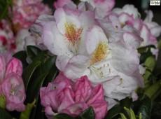 Rhododendron insigne 'Brigitte'