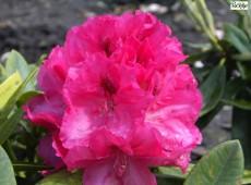 Rhododendron insigne 'Marianne von Weizäcker'