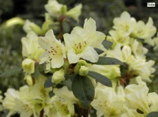 Rhododendron keiskei 'Chink'