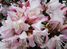 Rhododendron keiskei 'Ginny Gee'