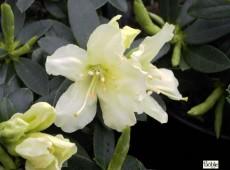 Rhododendron keiskei 'Patty Bee'