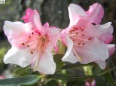 Rhododendron keiskei 'Wee Bee'