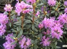 Rhododendron lapponicum