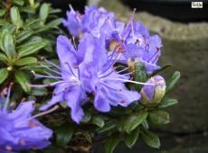 Rhododendron litangense
