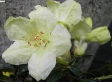 Rhododendron ludlowii 'Wren'