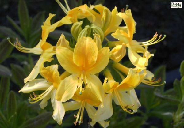 Rhododendron luteum (Azalea pontica) Wildform