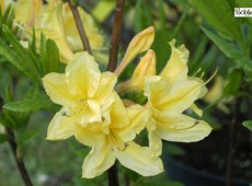 Rhododendron luteum 'Arpege'