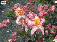 Rhododendron luteum 'Berryrose'