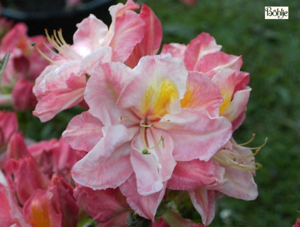 Rhododendron luteum 'Cecil'