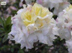 Rhododendron luteum 'Chelsea Reach'