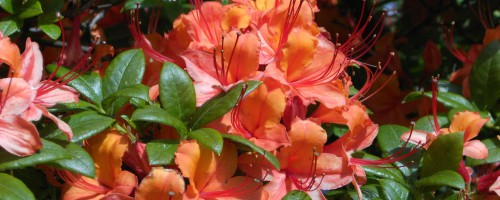 Rhododendron (Azalea) sommergrün