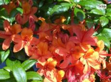 Rhododendron luteum 'Coccinea Speciosa'
