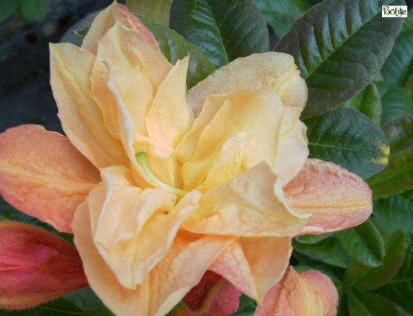 Rhododendron luteum 'Csardas'