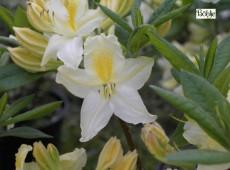 Rhododendron luteum 'Daviesii'
