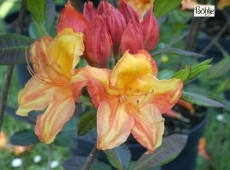 Rhododendron luteum 'Gemini'