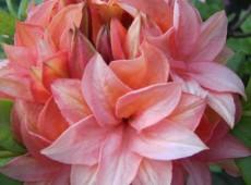 Rhododendron luteum 'Gena Mae'