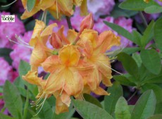 Rhododendron luteum 'Gold Dust'