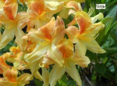 Rhododendron luteum 'Golden Flare'