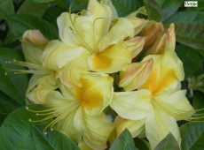 Rhododendron luteum 'Golden Sunset'