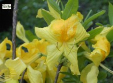 Rhododendron luteum 'Goldpracht'