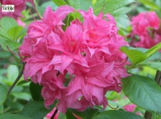 Rhododendron luteum 'Homebusch'