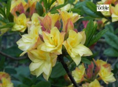 Rhododendron luteum 'Imago'