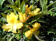 Rhododendron luteum 'Nancy Waterer'