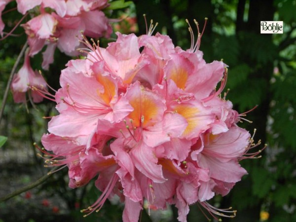 Rhododendron luteum 'Pink Delight'