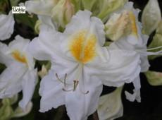 Rhododendron luteum 'Schneegold'