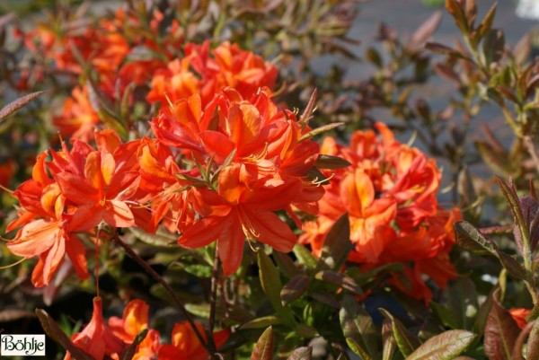 Rhododendron luteum 'Sunny Boy'