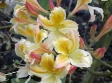 Rhododendron luteum 'Superba'